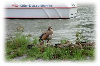 ライン川水鳥