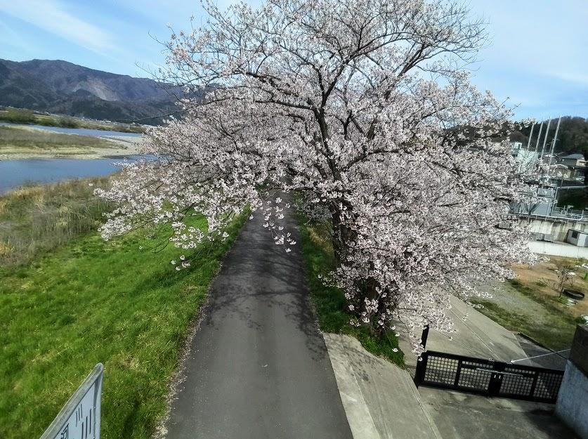 桜並木ドローン写真