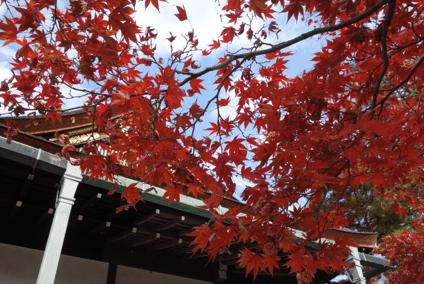 京都御所紅葉見ごろ