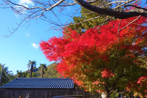 近江八幡紅葉見ごろ