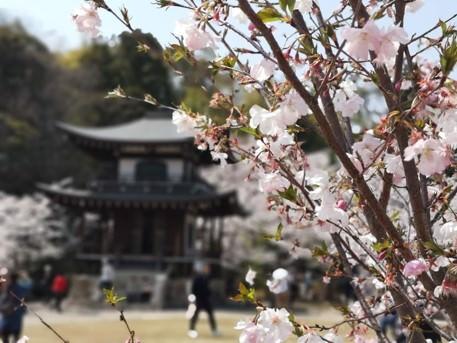 【京都の桜】勧修寺でお花見は穴場?庭園内の桜をレビュー
