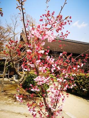 勧修寺桜お花見