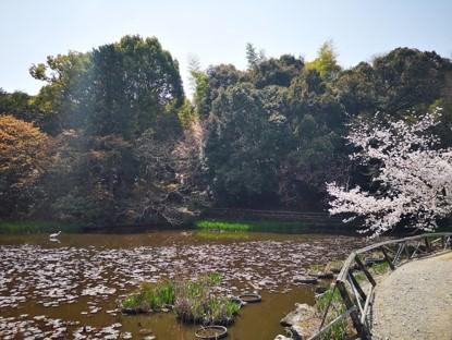 勧修寺氷室の池白鷺桜