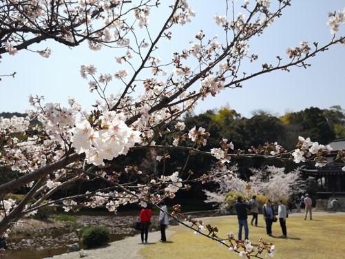 勧修寺氷室の池桜